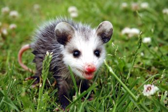 baby possum walking through grass, © Tim Harman